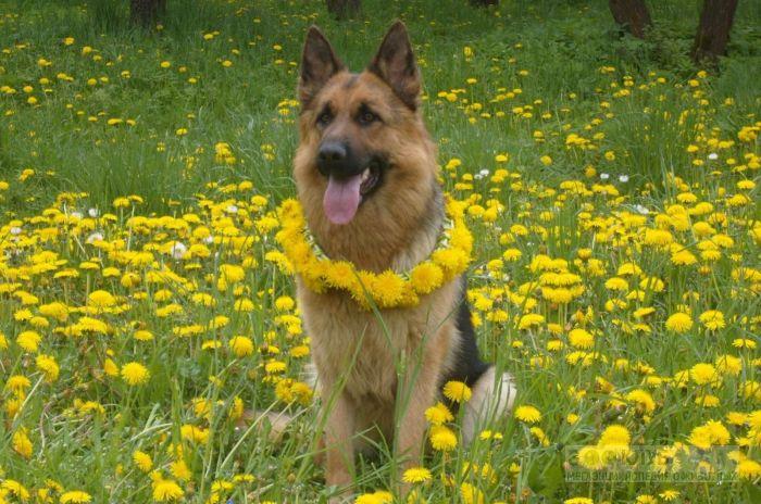 Клички собак немецкой овчарки, фото фотография картинка обои