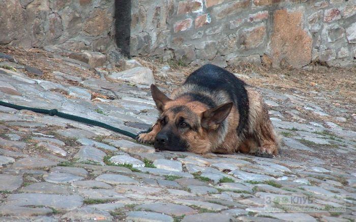 Как назвать немецкую овчарку?, фото фотография картинка обои