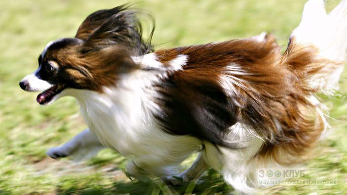Собака папийон, фото фотография картинка обои