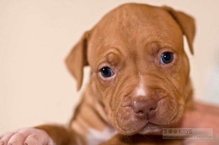 Питбультерьер щенки, фото фотография картинка обои