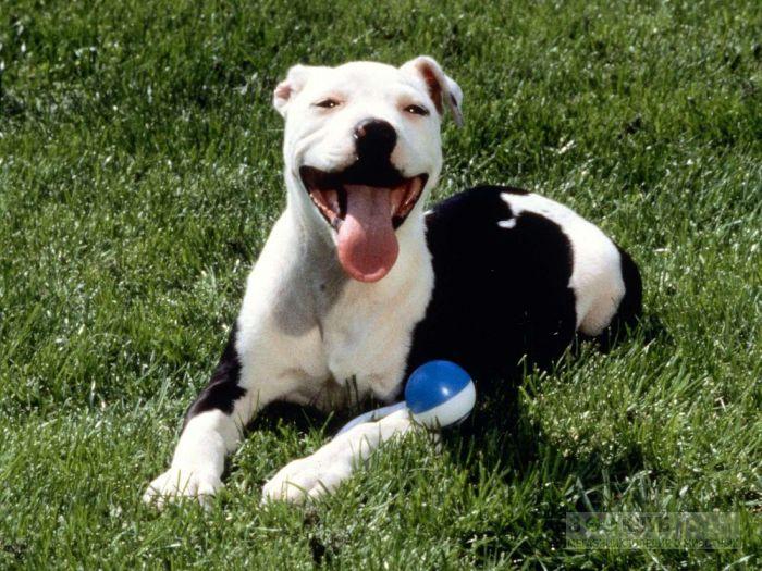 Собака питбультерьер, фото фотография картинка обои