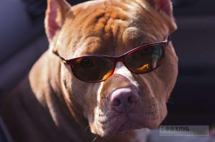 Питбуль собака цена, фото фотография картинка обои