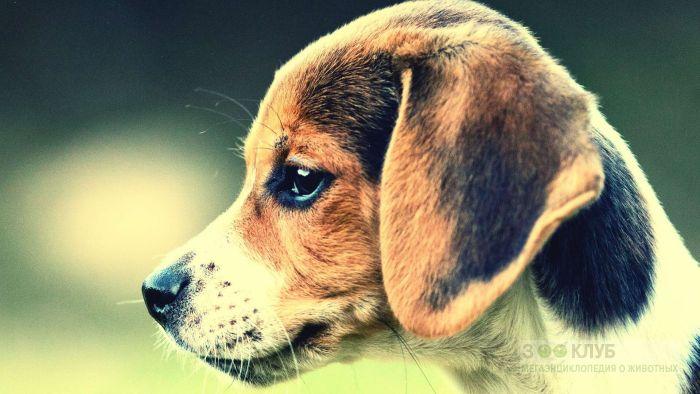 Купить собаку бигль, фото фотография картинка обои