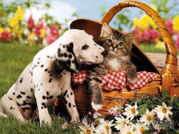 Щенок далматина и длинношерстный котёнок, фото фотография картинка обои