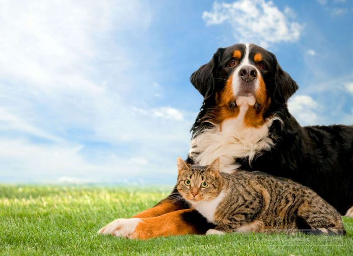 Зенненхунд и кошка, фото фотография картинка обои