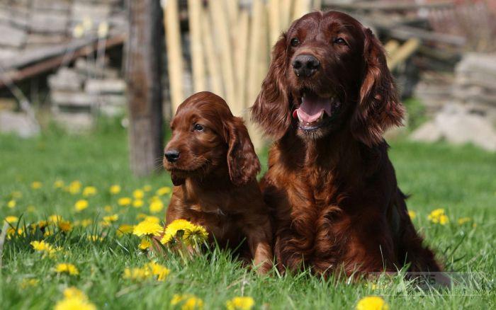 Порода собак сеттер ирландский, фото фотография картинка обои