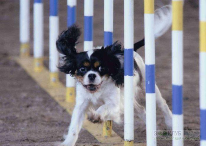 Собака кинг чарльз спаниель, фото фотография картинка обои