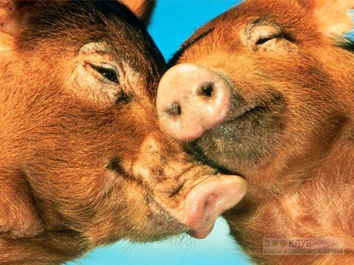 Целующиеся свиньи, фото фотография картинка обои