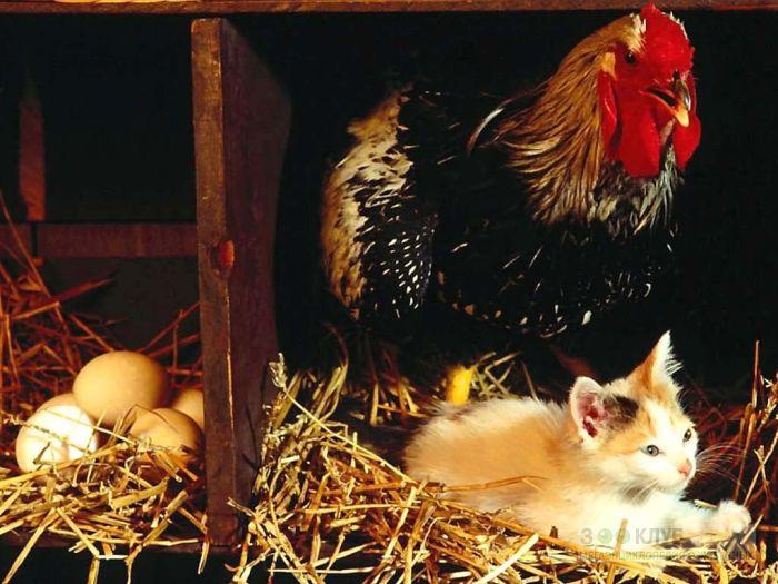 Курица и котенок в курятнике, фото фотография картинка обои