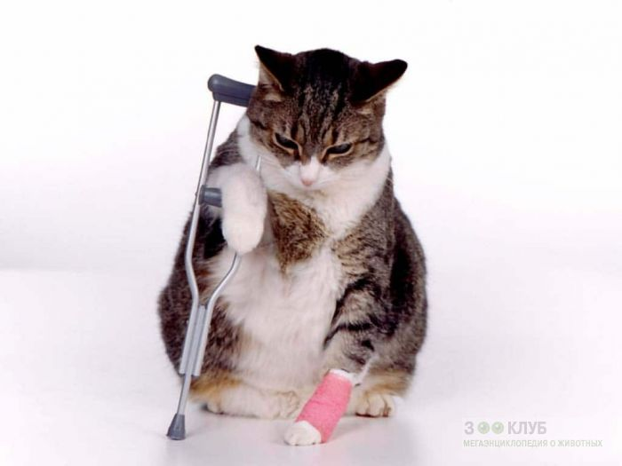 Кошка с костылем, фото фотография картинка обои