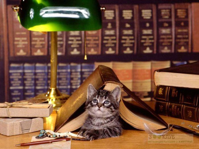 Котенок под книгой, фото фотография картинка обои