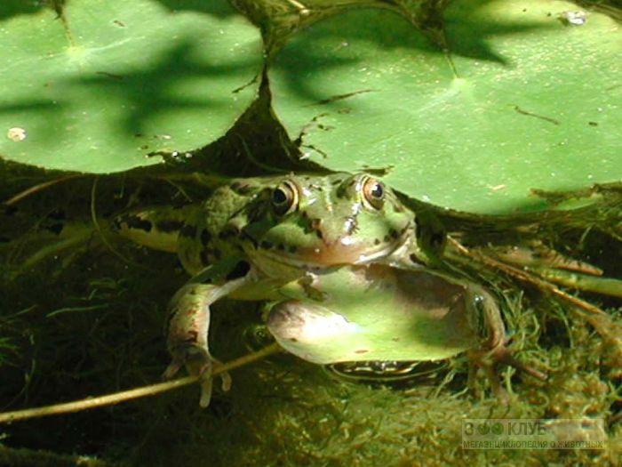Прудовая или озерная лягушка, фотообои, фото обои, фотография картинка