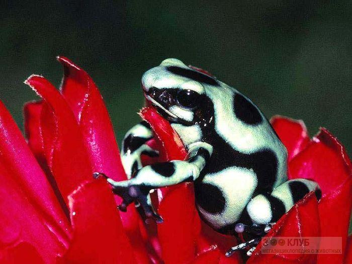 Древолаз Красящий (Dendrobates auratus), фотообои, фото обои, фотография