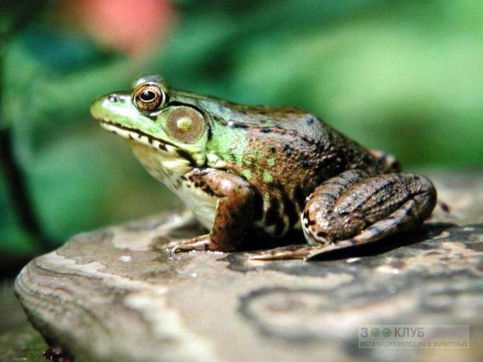 Зеленая лягушка сидит на камне, фотообои, фото обои, фотография картинка