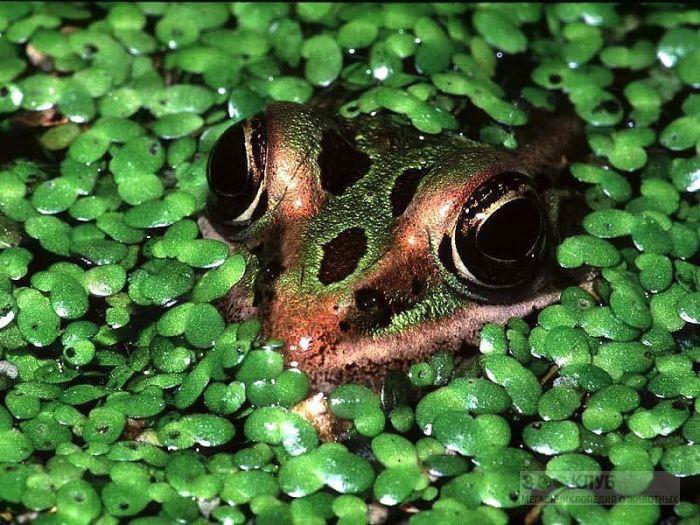 Лягушка спрятавшаяся в ряске, фотообои, фото обои, фотография картинка