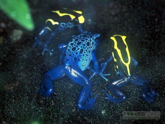 Голубые древолазы (Dendrobates azureus), фотообои, фото обои, фотография картинка