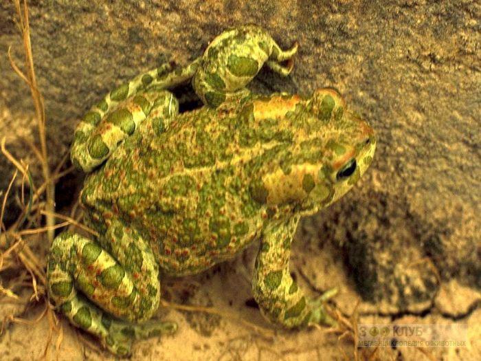 Зеленая жаба (Pseudepidalea viridis), фотообои, фото обои, фотография картинка