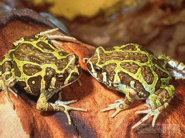 Рогатые жабы, или лягушки, фотообои, фото обои, фотография картинка
