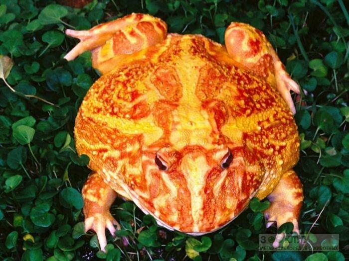 Лягушка-рогатка, фотообои, фото обои, фотография картинка