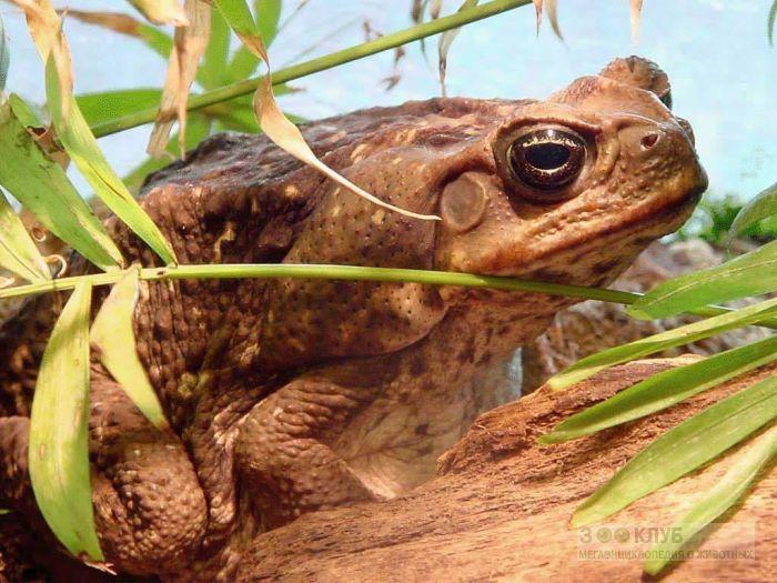 Жаба ага (Bufo marinus) фотообои, фото обои, фотография картинка