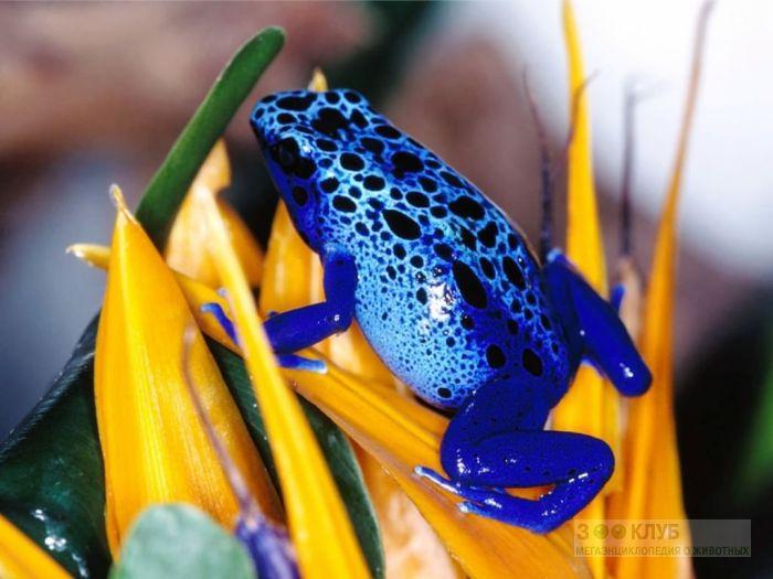 Голубой древолаз (Dendrobates azureus), фотообои, фото обои, фотография картинка