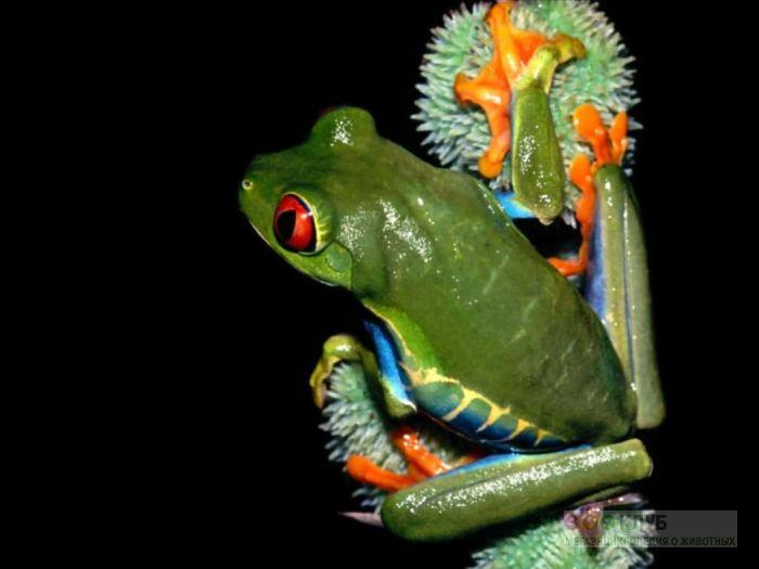 Красноглазая Квакша (Agalychnis callidryas), фотообои, фото обои, фотография картинка