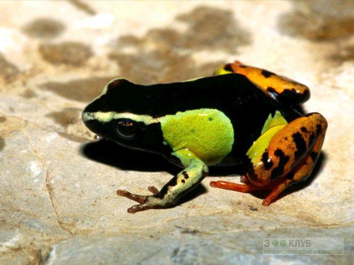 Черная, или мадагаскарская мантелла (Mantella madagascariensis) фотообои, фото обои, фотография карт
