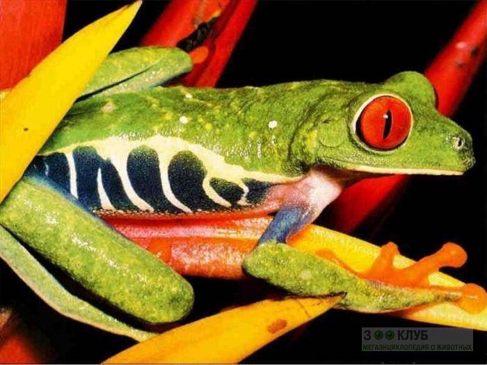 Красноглазая Квакша (Agalychnis callidryas) фотообои, фото обои, фотография картинка
