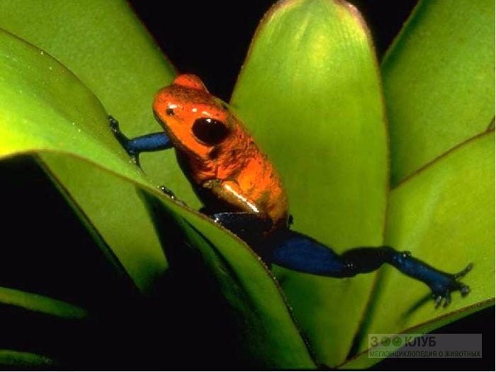 Маленький древолаз (Oophaga pumilio) фотообои, фото обои, фотография картинка