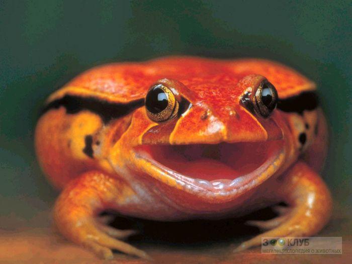 Лягушка-помидор (Dyscophus antongilii) фотообои, фото обои, фотография картинка