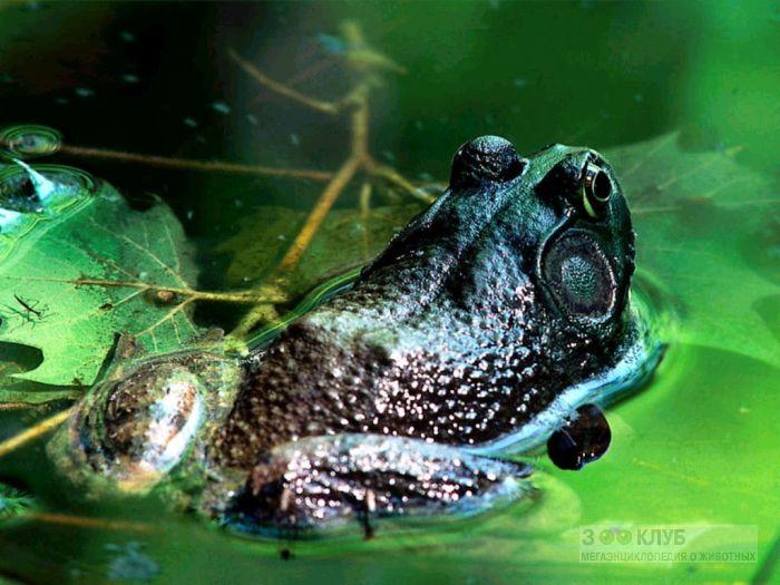 Лягушка сидит в воде фотообои, фото обои, фотография