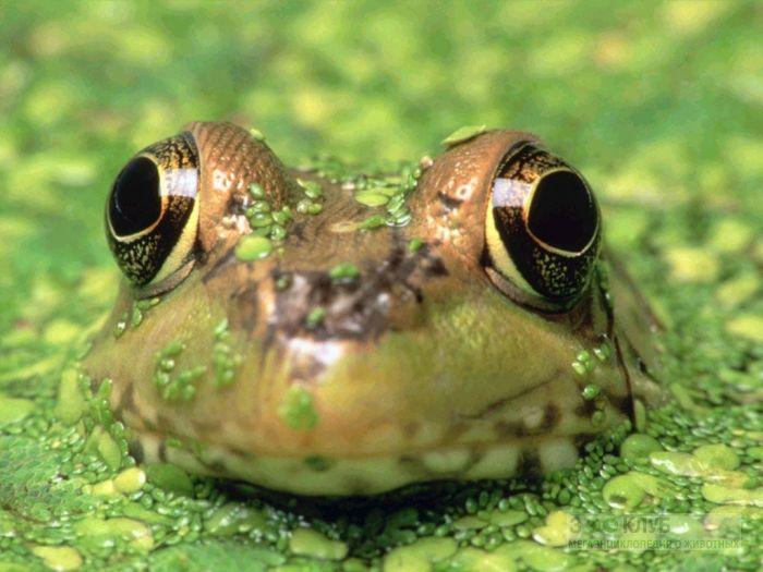 Голова лягушки в ряске фотообои, фото обои, фотография картинка