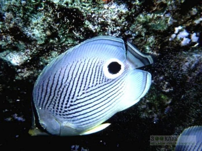 Четырёхглазая рыба-бабочка (Chaetodon capistratus), фотообои, фото обои, фотография