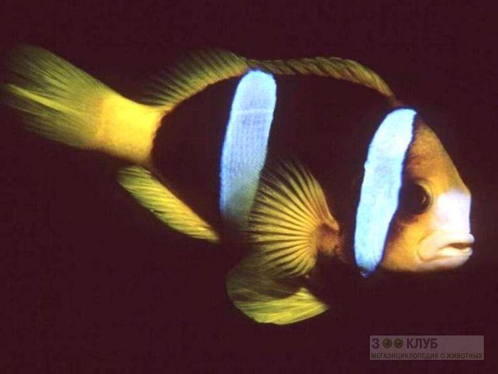 Двухполосый клоун (Amphiprion bicinctus), фото фотография картинка обои