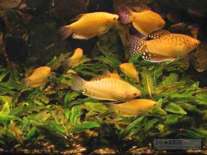 Гурами золотой (Trichogaster trichopterus sumatranus var. gold), фото фотография картинка обои