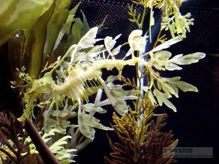 Морской конек тряпичник (Phycodurus eques), фотообои, фото обои, фотография