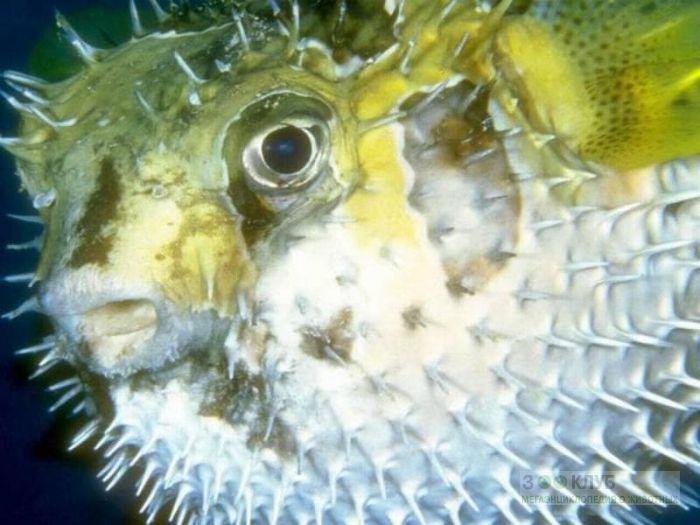 Крупнопятнистая рыба-ёж (Diodon liturosus), фотообои, фото обои, фотография