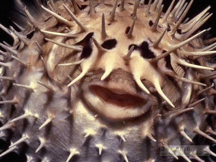 Длинноиглая рыба-ёж (Diodon holocanthus), фото фотография картинка обои