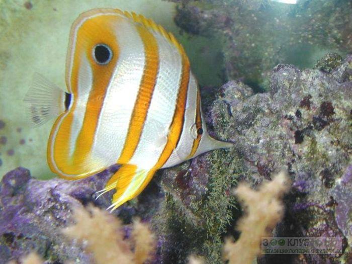 Длиннорылая рыба-бабочка, хелмон (Chelmon rostratus), фото обои, фотография