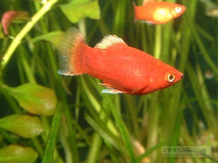 Красная пецилия (Xiphophorus variatus), фото фотография картинка обои