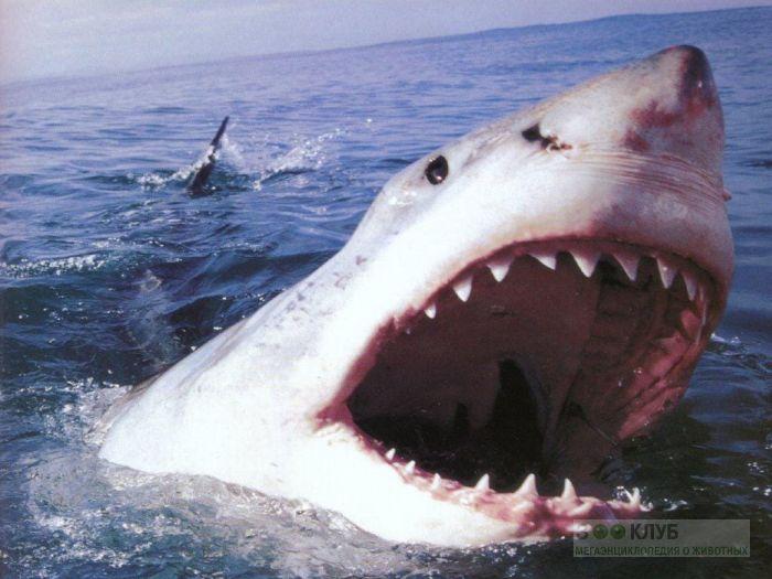 Белая акула (Carcharodon carcharias) фотообои, фото обои, фотография