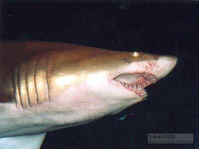Акула, фото фотография картинка обои