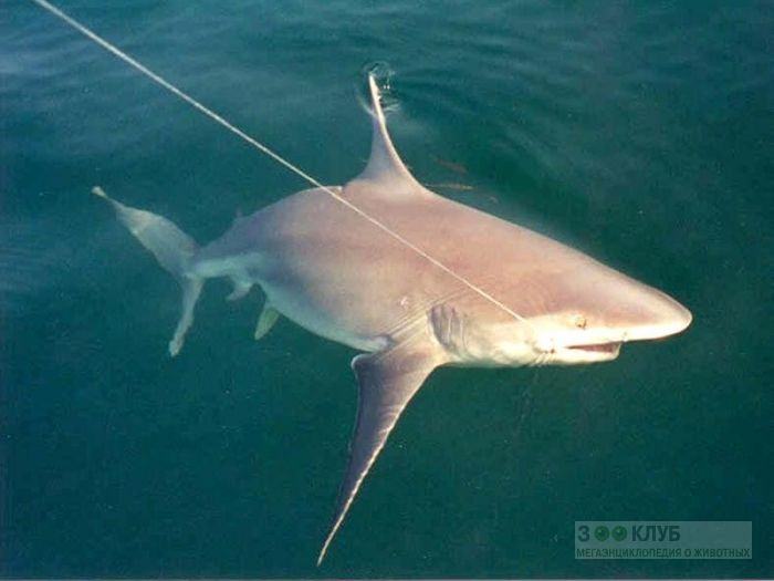 Акула, пойманная на удочку, фото фотография картинка обои