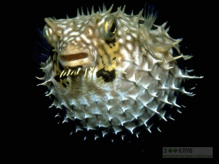 Рыба-еж (Diodon), фотообои, фото обои, фотография
