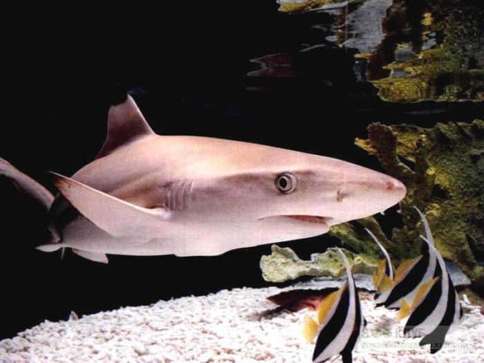 Черноперая акула (Carcharhinus limbatus), фотообои, фото обои, фотография