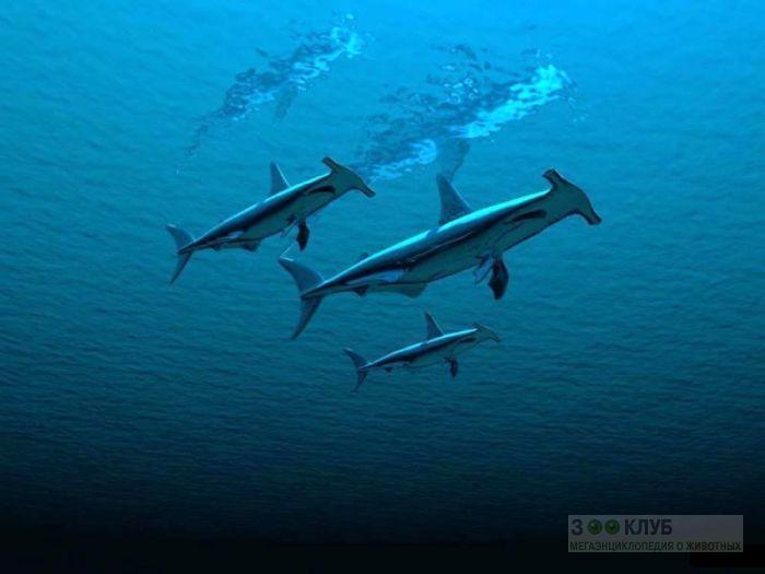 Акулы-молот (Sphyrna zygaena), фото обои, фотография картинка