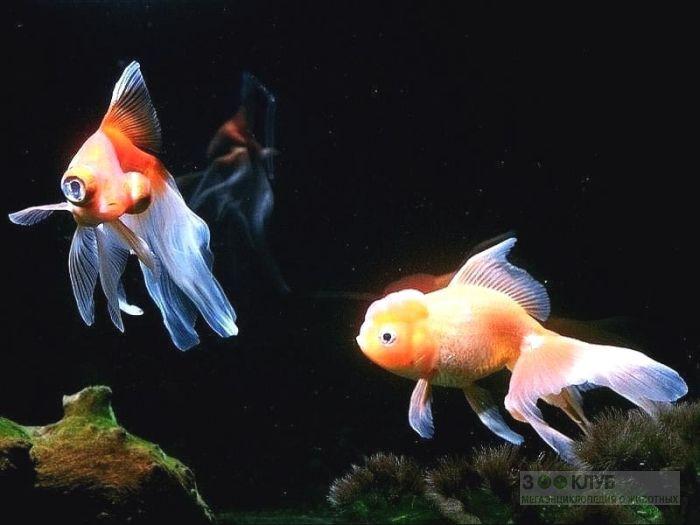 Золотые рыбки, фото фотография картинка обои