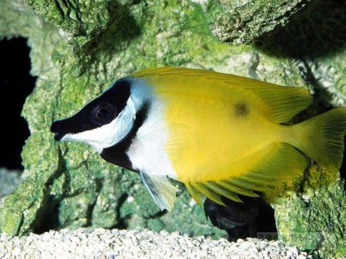 Лисица желтая, рыба-лиса (Siganus vulpinus, Lo vulpinus), фотообои, фото обои, фотография