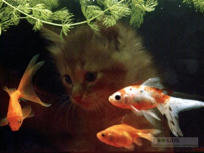 Золотые рыбки и котенок, фото фотография картинка обои