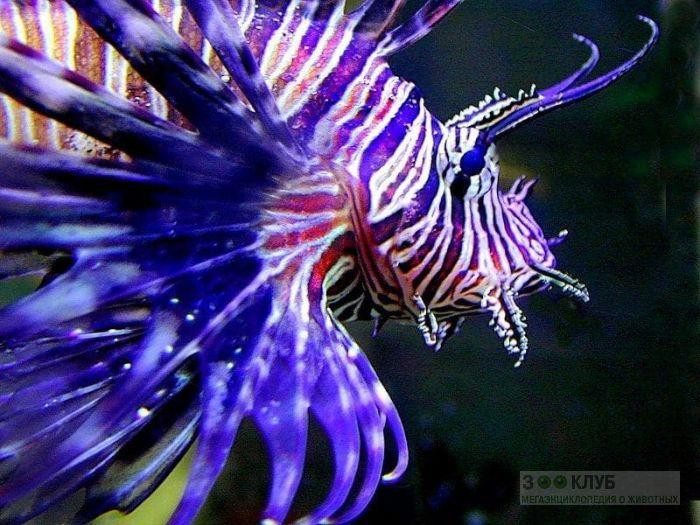 Крылатка-зебра (Pterois), фотообои, фото обои, фотография